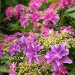 吹き飛ばそう/楽しい/紫陽花 梅雨で鬱陶しい時期になるけど綺麗な紫陽花…