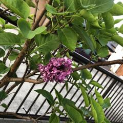 樹木の力/庭 7年目にして初めて 庭のライラックが咲い…