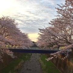 朝/川/景色/桜 桜✨さくら💕サクラ🍀