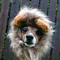 ライオン/イタリアングレーハウンド/2018/ペット/犬/憧れ/... 今年 ぼくは りっぱなライオンになった