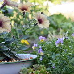 ガーデニング/庭づくり/庭/フォロー大歓迎/至福のひととき/DIY/...  おはようございます🌞  気温で色が変化…