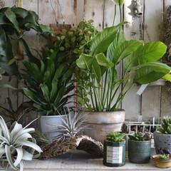 観葉植物インテリア/観葉植物のある暮らし/観葉植物/フォロー大歓迎/雑貨/LIMIA手作りし隊/...  観葉植物もすっかり色々増えました😊🙆…