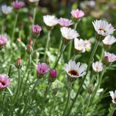 植物のある暮らし/植物/ガーデニンググッズ/ガーデニング/フォロー大歓迎/DIY  ピンクのお花が好きな娘  すぐに摘み取…