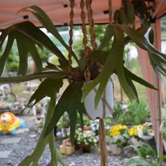 ラン/シダ/ビカクシダ/こうもりラン/コウモリラン/フォロー大歓迎  いつも庭の真ん中で バケモノのようにゆ…