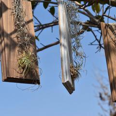 観葉植物のある暮らし/観葉植物/エアープランツホルダー/エアープランツ/チランジア着生/チランジア お天気が良い日はお部屋組も日光浴✨✨  …