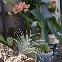 観葉植物/チランジア/コウモリラン板付/コウモリラン/インテリア/住まい みなさん気持ち良さそうに日光浴していまし…