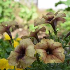 お花/植物のある暮らし/植物/ガーデニンググッズ/ガーデニング/フォロー大歓迎  . . ペチュニア🌹 , . 気温で色…