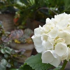 フォロー大歓迎/春/風景/暮らし/住まい こんにちは  先日お花屋さんで真っ白な紫…