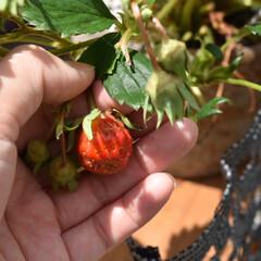 いちご/家庭菜園/フォロー大歓迎/DIY/暮らし/住まい  ちーさいですが まだイチゴも収穫出来て…