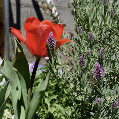 ラベンダー/庭が好き/庭づくり/フォトコンテスト/はる/春の一枚 おはようございます😃  チューリップとラ…