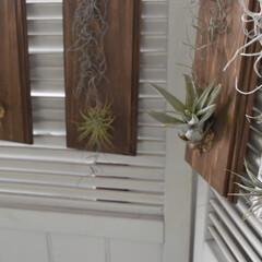観葉植物飾り方/観葉植物のある暮らし/観葉植物/アイディアレシピ/着生/エアープランツ/... 去年着生させたチラ達も窓際で元気🥰💕  …