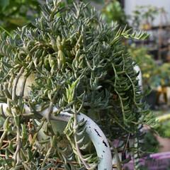 家庭菜園初心者/家庭菜園/多肉/寄せ植え/多肉植物がある暮らし/多肉植物/...  春に肥料をあげて、 夏は雨晒しにしてお…