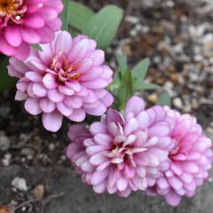 ガーデニング雑貨/お花/花/ガーデニング/庭づくり/暮らし/... こんばんは🙆♀️✨  今日は お天気が…