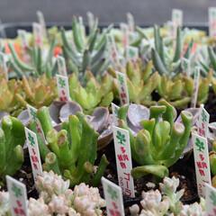 サボテン/普及種/多肉植物寄せ植え/多肉/多肉植物の寄せ植え/多肉植物がある暮らし/...  多肉ちゃんたくさん🌵✨💕  普及種、 …