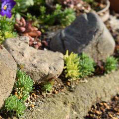 花壇作り/花壇アレンジ/花壇/地植え/セダム寄植え/セダム/... おはようございます☀  石のわきから出て…