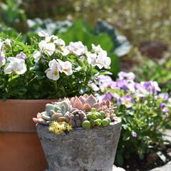 パンジー/ビオラ/ガーデニング雑貨/ガーデニング/お庭造り/お庭DIY/... おはようございます😃    お花の摘み方…