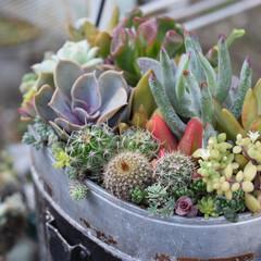 リメイク/寄せ植え/多肉植物がある暮らし/多肉植物の寄せ植え/多肉植物/リミアの冬暮らし/...  飯盒に♪  底穴が開いていないものはキ…