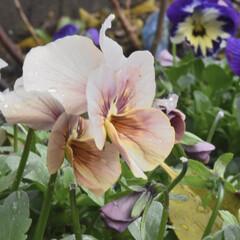ガーデニング/お庭/パンジー/ビオラ/ガーデン/花/... こんばんは✨  小さな春 春色💕💕  こ…