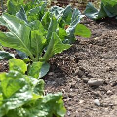 野菜/家庭菜園初心者/家庭菜園/ガーデニング/お花/フォロー大歓迎/... おはようございます🌞  お野菜さんたち。…