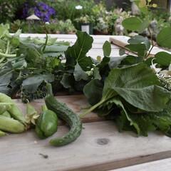 ガーデニンググッズ/ガーデニング/野菜/家庭菜園初心者/家庭菜園/フォロー大歓迎  雨が降りだす前に収穫しました  インゲ…