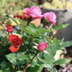 庭づくり/ドライフラワー/バラ/リメイク鉢/ガーデニング/フォロー大歓迎/... こんにちは✨  去年植え込んだバラ  剪…