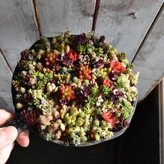 チマチマ/セダム/多肉植物がある暮らし/多肉/寄せ植え/寄せ植えのコツ/... こんばんは✨  昨年11月に植えたチマチ…
