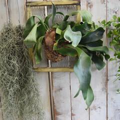 室内/コウモリラン/窓際インテリア/観葉植物/観葉植物のある暮らし/多肉植物の寄せ植え/... こんばんは✨  おうちの中にはコウモリラ…
