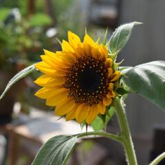 ガーデニンググッズ/ガーデニング/お花/ひまわり/夏/フォロー大歓迎 こんばんは✨  明日はお天気良くなって …