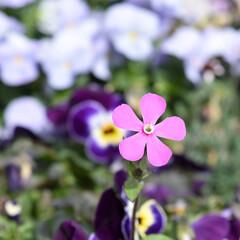 ガーデニングインテリア/ガーデニング植物/ガーデニング/花/お花/花壇庭植え/... おはようございます😃  お庭のお花たち。…