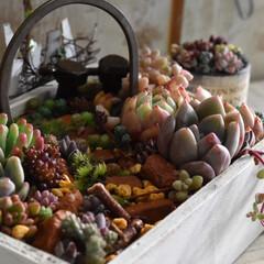 箱庭/箱庭風/多肉寄せ植え/多肉植物/多肉/リメイク/... こんにちは✨  セリアさんの商品で箱庭を…