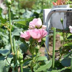 薔薇/バラ/フォロー大歓迎/住まい/LIMIA  今日も暑かったですね。  今日はバラの…