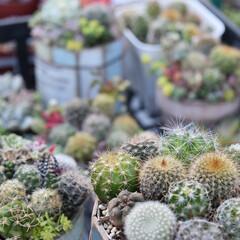 サボテン/多肉植物/多肉植物の寄せ植え/多肉植物がある暮らし/寄せ植え/リメイク/...  もけもけ頭が可愛い🙈💕  静岡県中部は…