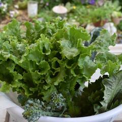 レタス/ブロッコリー/大葉/家庭菜園初心者/家庭菜園/フォロー大歓迎  今日の家庭菜園  レタス ブロッコリー…