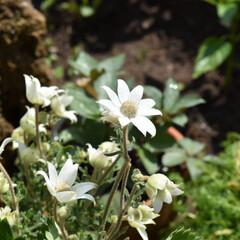 植物のある暮らし/植物/ガーデニング雑貨/ガーデニング/庭  こんばんは❤️  今日は庭いじりたくさ…