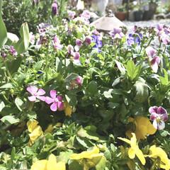 パンジー/ビオラ/ガーデニング/庭づくり/平成最後の一枚/春のフォト投稿キャンペーン おはようございます🌞  静岡はなんだかパ…