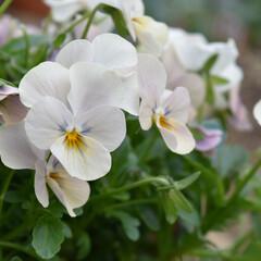 ビオラの植え方/ビオラ/ガーデニング植物/ガーデニング雑貨/ガーデニング/庭づくり/... おはようございます✨✨✨  原種のビオラ…