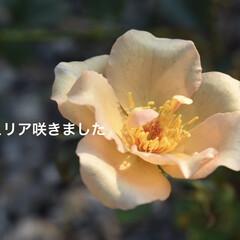 家庭菜園/庭づくり/アンティーク風/アンティーク/薔薇/バラ/... 見切り品で購入したジュリア  夏の間放置…