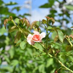 ばら/薔薇/バラ/100均/DIY/ハンドメイド/... こんにちは🙆♀️✨ 夏場放置していた …