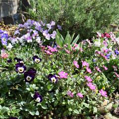 お庭DIY/お庭/庭づくり/春のフォト投稿キャンペーン/風景 おはようございます😃  お花たち元気です…