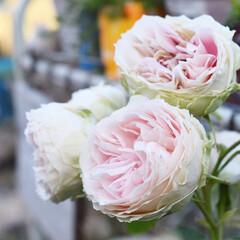 花/お花/薔薇/バラ/フォロー大歓迎/暮らし/...  おはようございます☀  先日一目惚れで…