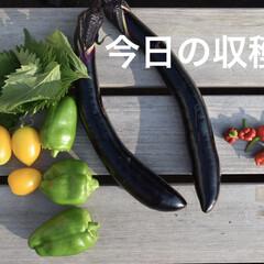 自給自足/家庭菜園初心者/庭づくり/家庭菜園/野菜/雑貨/... 今日の収穫はこれだけ🙆♀️  唐辛子は…