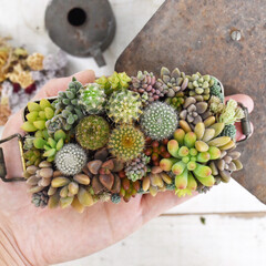 多肉植物の寄せ植え/多肉植物/タニク/古物/レトロ/100均/... タニ サボ 弁当🍙  レトロなお弁当箱に…