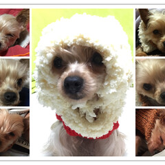幸せ/殺処分/犬/癒し/ヨークシャテリア/保護犬卒業犬/... ヨークシャテリアのよもぎです。 繁殖犬と…