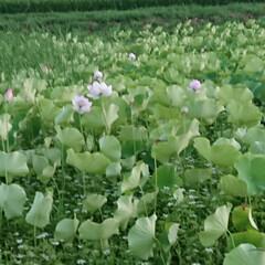 蓮の葉/お供え物/お盆 減反している我が家の田んぼに、蓮の葉を植…