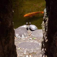建築事務所/写真/亀/カメ/鯉/こい カメを発見 岩陰にカメのお二人を発見  …
