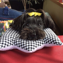 あご乗せ枕/ドッグカフェ/可愛い/おすまし/シュナウザー/ペット/... ドッグカフェでは、あご乗せ枕を使ってテー…