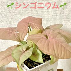 癒し/ピンク/シンゴニウム/観葉植物/100均/ダイソー 🌱シンゴニウム🌱  7月にダイソーでみつ…