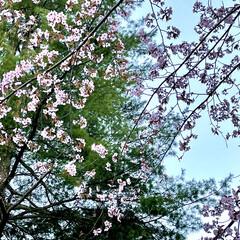 公園/桜/道東/ドライブ/お出かけ 土曜日、天気が良かったので🌸桜🌸を見られ…(5枚目)