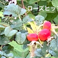秋/湖/お出かけ/サンゴ草/サロマ湖/花/... 昨日は、日本で3番目に大きなサロマ湖を散…(7枚目)