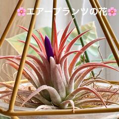 植物/インテリア/窓辺/花/エアープランツ/リビング/... 🌸エアープランツの花🌸  久々に咲きまし…